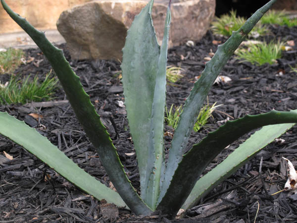 Blue agave; Lustron landscaping; photo by finelycrafted.net